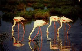 Flamingos auf Nahrungssuche in der Lagune