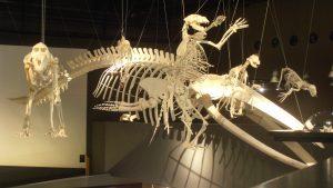 Skelett eines Wales