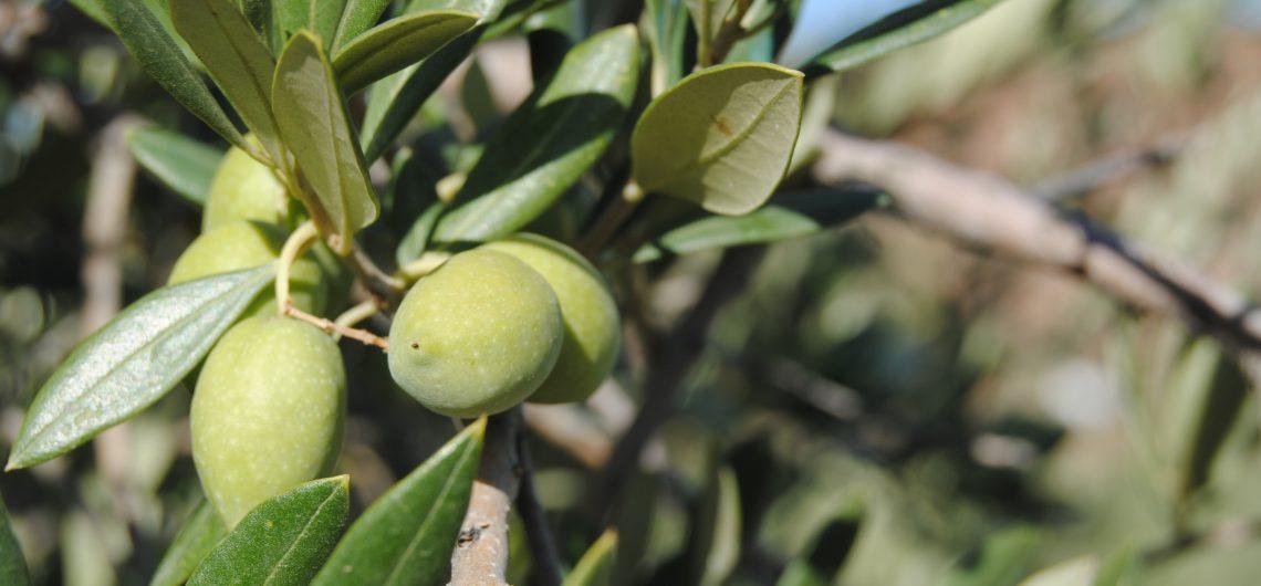 Oliven in einem Oliven