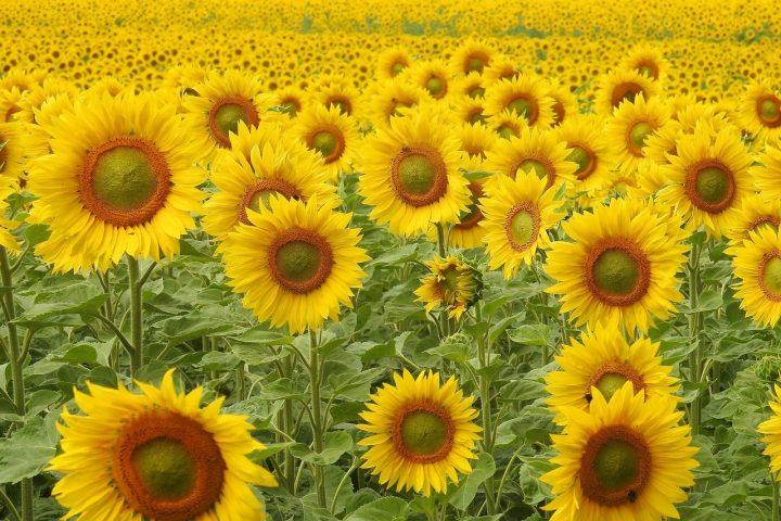Sonnenblumen Andalusien Rundreise