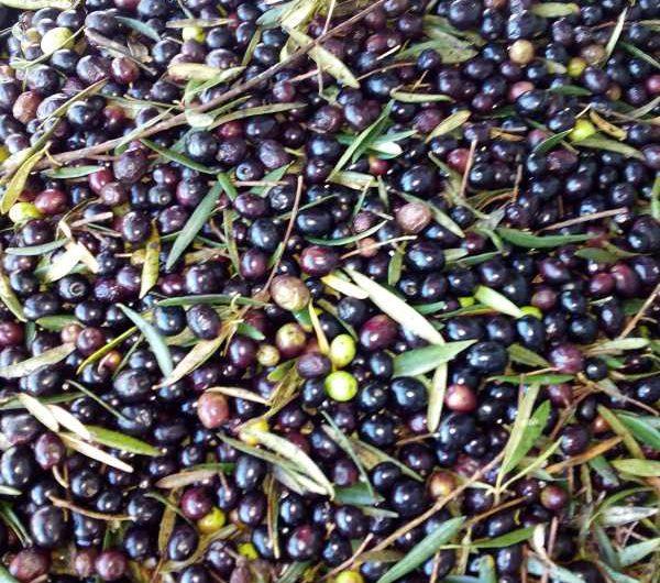 Olivenernte_Andalusien_Rundreise